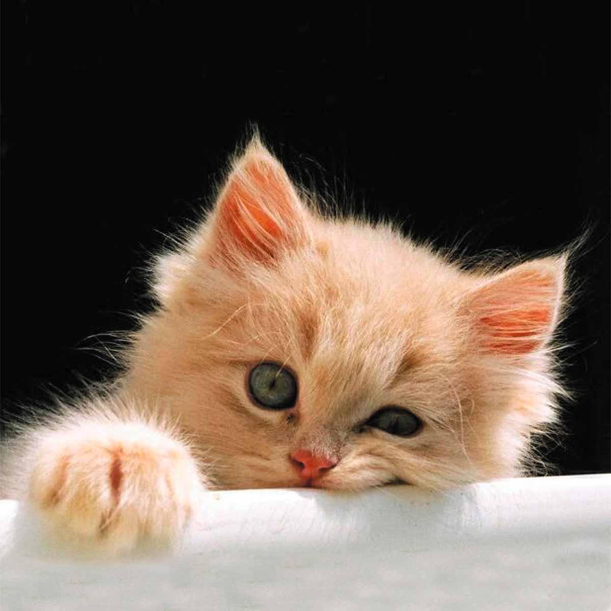 шварценеггер котенок скучает укручен картинка лет